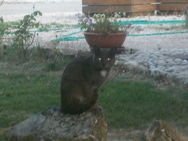 Il gatto grigione della fattoria antica forconia, agriturismo all'Aquila