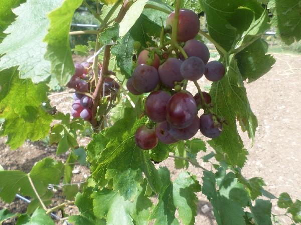 l'uva del vigneto della fattoria