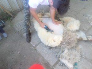 Tosatura delle pecore in Fattoria Antica Forconia